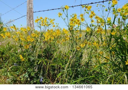 Yellows around a barbed wire fence in Texas.