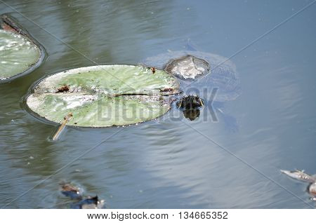 Jewelry turtle watching near the water lily leaf