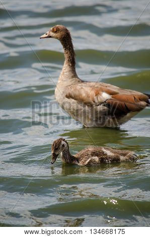 An Egyptian goose and her gosling wading in the water