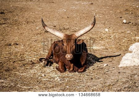 The Ankole-watusi, Also Known As Ankole Longhorn Outdoors