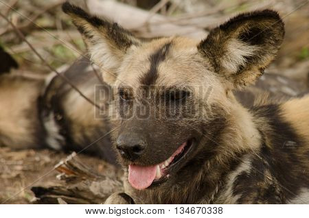A portrait of a wild dog smiling