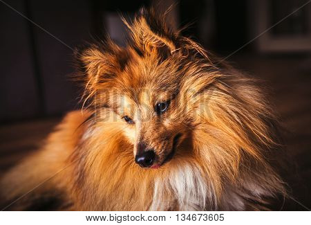a shetland sheepdog lies on woody ground