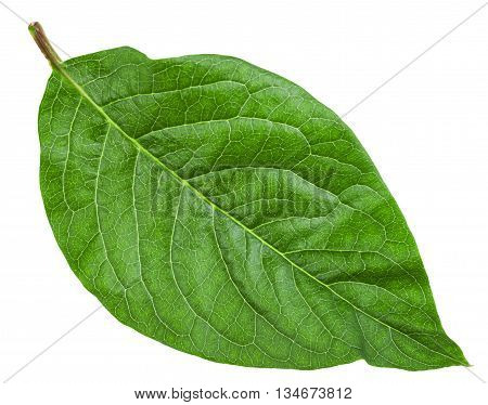 Green Leaf Of Syringa Josikaea (hungarian Lilac)
