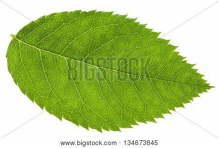 Green Leaf Of Rosa Canina (dog-rose) Isolated