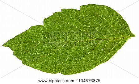 Green Leaf Of Acer Negundo (maple Ash) Tree