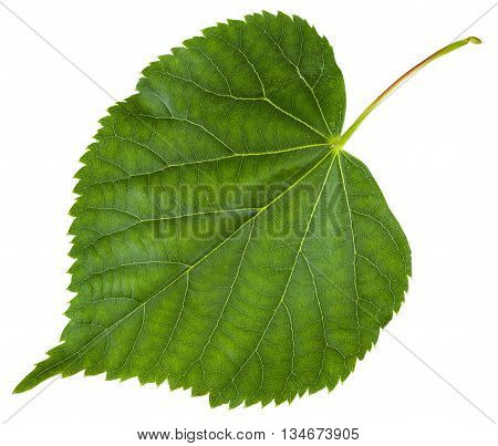 Fresh Leaf Of Tilia Cordata Tree Isolated