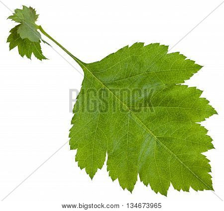 Fresh Leaf Of Redhaw Hawthorn Shrub Isolated