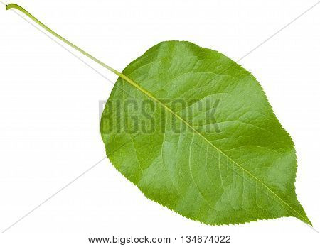 Back Side Of Green Leaf Cherry Tree Isolated