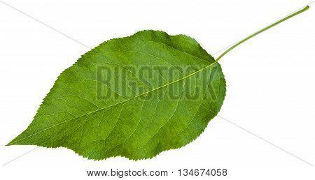 Green Leaf Of Sambucus Racemosa ( Elderberry)