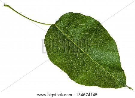 Green Leaf Of Wild Apple Tree Isolated