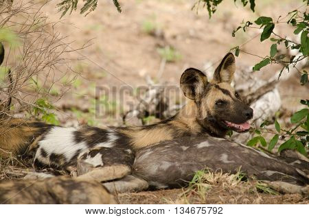 A wild dog smiling back at you