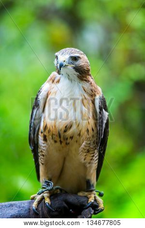 Red Tailed Hawk On Hand Of Falconer