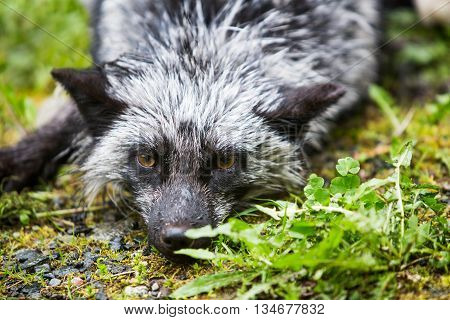 Silver Fox Laying On Ground