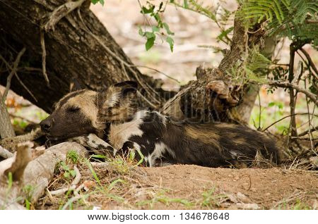 a wild dog sleeps under a tree
