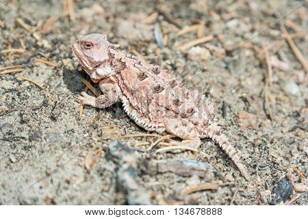 Horned lizard also known as horny toad or frog in natural habitat