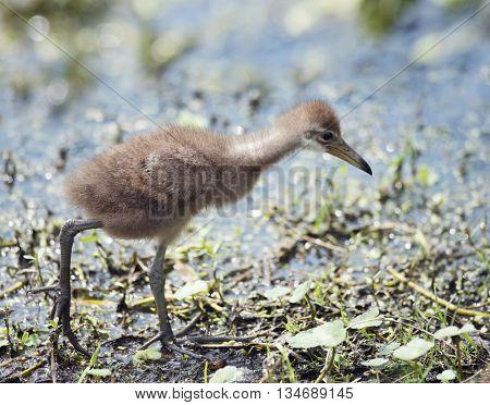 Limpkin Chick in Florida Wetlands