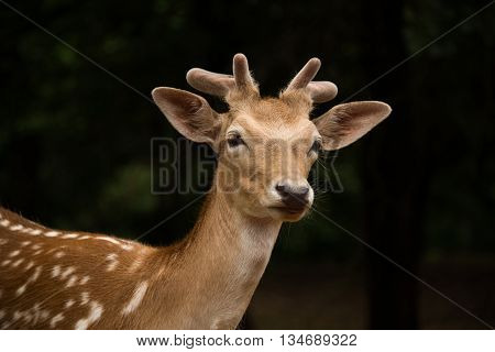 Spotted Axis buck deer growing antlers back
