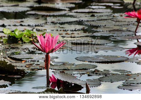 Lotus blossom in pond at Moneyingyi Wetland Sanctuary in Myanmar