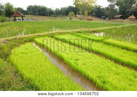 landscape of rice paddy field in rural