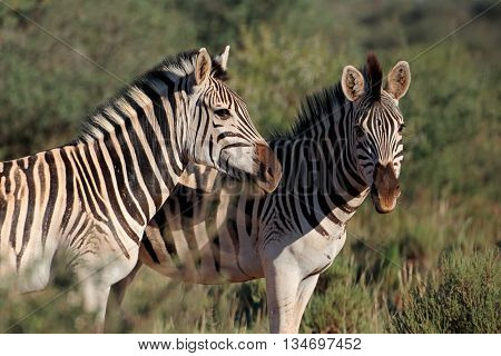 Portrait of two plains (Burchells) zebras (Equus burchelli), South Africa