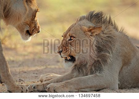 Portrait of an aggressive male African lion (Panthera leo), Kalahari desert, South Africa