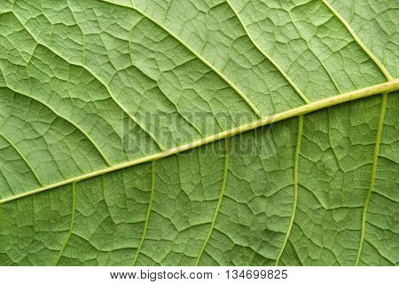 abstract natural texture of a surface of a leaf of a plant with streaks closeup for a natural background or for wallpaper of green color