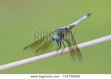 Alabama Blue Dasher Dragonfly with Clear Wings