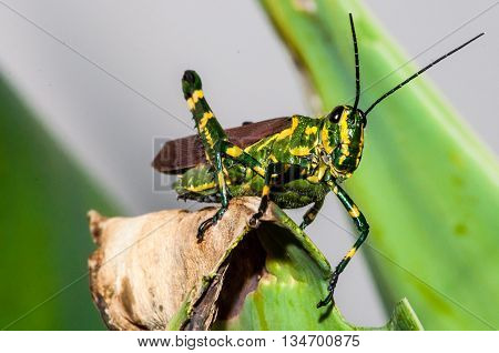 A yellow and green grasshopper looking directly to the camera