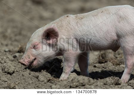 Baby pig standing on ground in the sunlight
