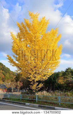 golden ginko tree in autumn in Japan