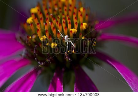 Purple Coneflower Blossom with Tiny Spider on Stamens