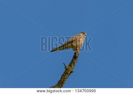 Kestrel (Falco tinnunculus) sitting on a branch in blue sky