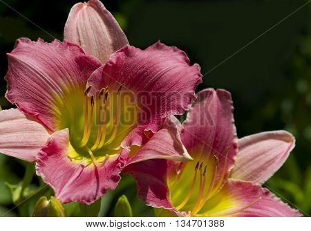 Peachy Pink and Yellow Daylilies Hemerocallis Blossoms
