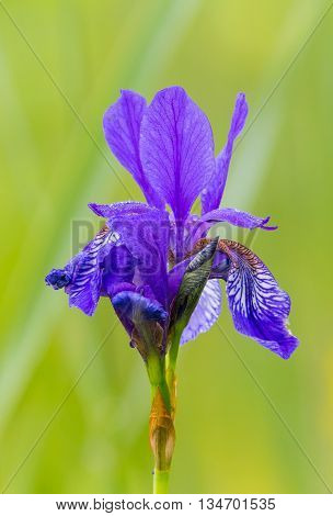 Bloom of natural siberian iris (Iris sibirica) with green background