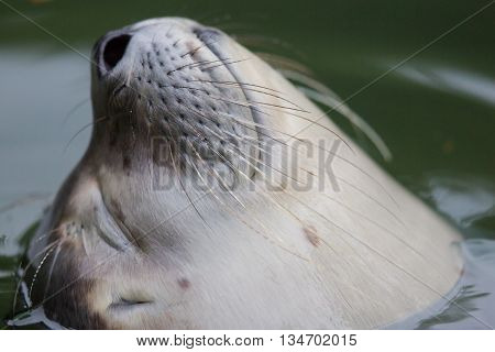 portrait of a common seal (Phoca vitulina)