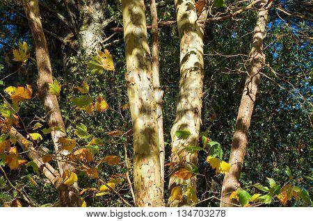 Australian Eucalyptus tree trunks on a sunny day. Bark texture of autumn trees