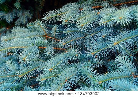 Branches of blue spruce.  close up. forest