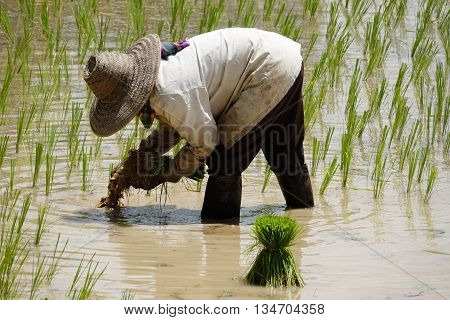 Rice Seedling Planting asian people working on rice paddy