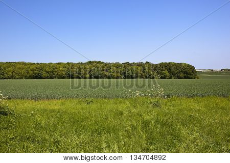 Conservation in the landscape with wildflowers growing on a grassy headland by a field of green wheat on the Yorkshire wolds.
