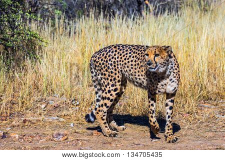 Private farm safari in Namibia. Feeding of cheetah