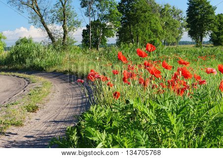 poppies (papaver rhoeas) near the country road