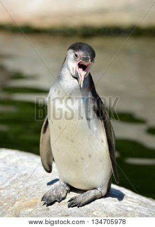 The Humboldt Penguin ( Spheniscus humboldti ) wildlife photo.