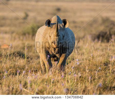 A lone adult Black Rhinoceros in grassland in Southern Africa