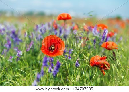 red poppies on summer landscape. soft focus