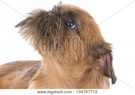 brussels griffon puppy portrait on white background