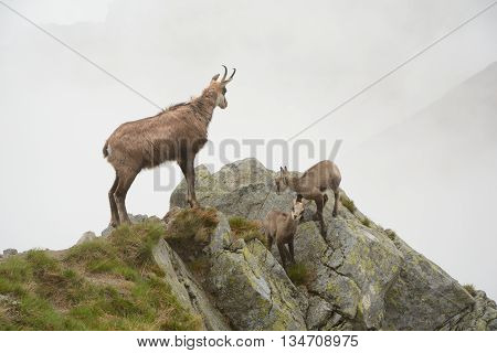 One adult and two young chamois in fog on rock in Tatra mountains