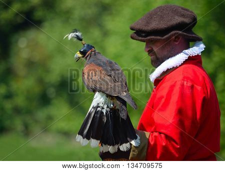 Saffron Walden, Essex, England - June 05, 2016: Hooded Harris Hawk on the glove of a man wearing a red  Elizabethan costume.