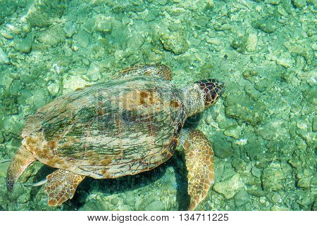 Loggerhead Sea Turtle-or Caretta caretta, swimming along the city and a depth of sixty feet off Deerfield Beach Florida.