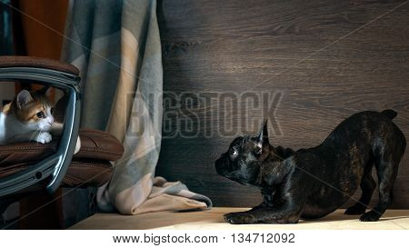 Dog playing with a cat. The cat is small hidden in the chair. The dog is big black. Dog Breed French Bulldog