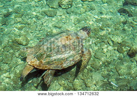 Loggerhead Sea Turtle-or Caretta caretta, swimming along the bay of Kastelorizo island